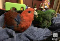 Hand Raised Eclectus Parrots Male n Female For Sale