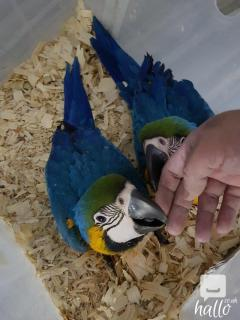 BLUE AND GOLD MACAWS READY TO A GOOD HOME,