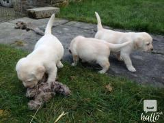 Gorgous Labrador For Sale