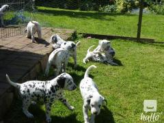 Gorgous Dalmation Puppies