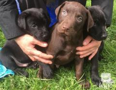 Beautiful Dobermann Puppies