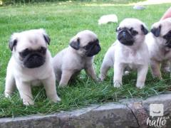 adorable pug puppies