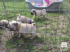 Give A Pug A Home Beautiful Kc Registered Puppies