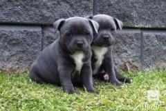 Blue Staffordshire Bull Terrier Puppies Are Now Ready