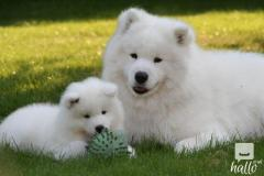 amazingly stunning Samoyed Puppies for sale