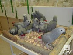 Congo Grey Parrots for sale.whatsaap me at 07418332038