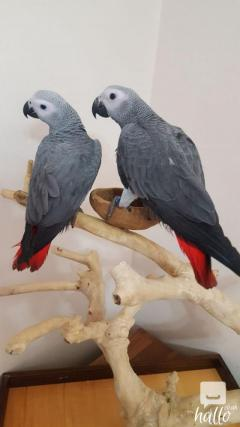 Beautiful staffy african grey parrots ready 07418332038