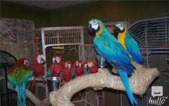 Blue and Gold macaw Parrot on sale.whatsaap 07418332038